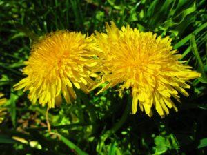 Blommande maskrosor